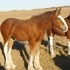 2014 Weanling Clydesdale Filly - Hill Topper Charm's Holly