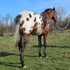 Reduced - 2011 Appaloosa Stallion - Double Registered