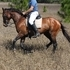 Sporthorse Thoughbred stallion
