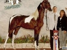 2008 Pinto World Champion Gaited American Saddlebred Gelding