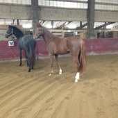 Black Dutch Warmblood Cross 2YO Filly