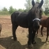 Percheron Gelding rides and drives