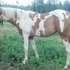 Gorgeous Red Dun APHA/PtHA Filly