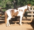 Arabian Cross for sale