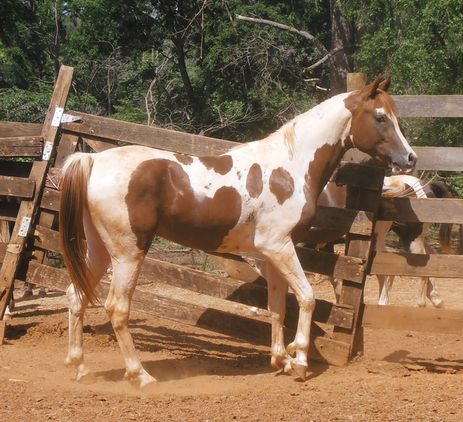 Possibly homozygous tobiano Pinto Arabian Stallion