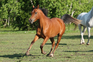 Crabbet / Donoghue mare breed / cow prospect  for sale in United States of America