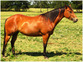 Beautiful, Foundation Bred Mare for Breeding Lease.  for sale in United States of America