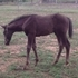 Very rare dual reg apha and Jc sporthorse smoky blk