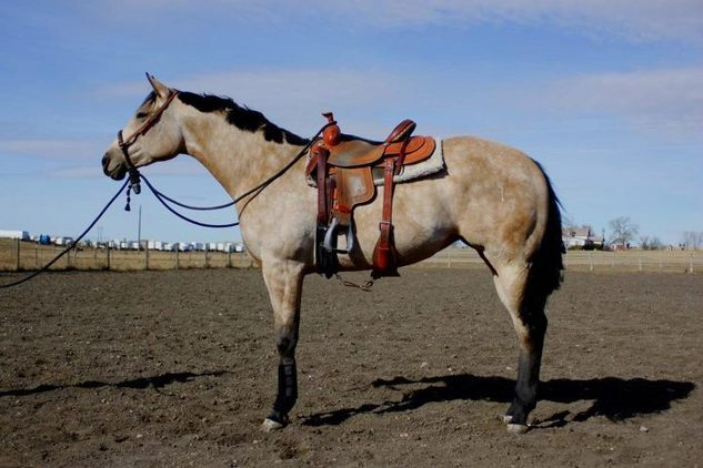 Huge AQHA Buckskin Filly
