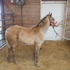 Buckskin stud colt for sale