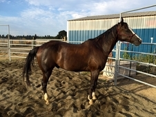 Registered Gelding - Very Smooth Trot and Lope