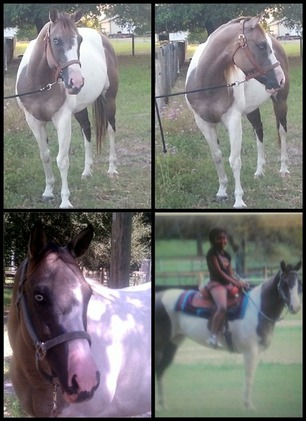 GRULLA/WHITE PAINT MARE