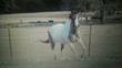 GRULLA/WHITE PAINT MARE for sale