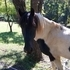 Tennessee Walker Black & White Paint Stallion - Stud - Tobiano Pattern - Great blood line