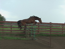 Talented Bay Gelding for sale