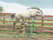 Classic Spirit- Beautiful Grey Mare going undersaddle - English a...