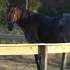 BEAUTIFUL BLUE ROAN TENN WALKER MARE FOR SALE
