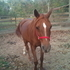 Arabian mare. *REDUCED PRICE*