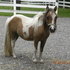 Looking for that perfect mini - stop here !! Beautiful Little Miniature Pinto Mare