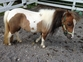 Looking for that perfect mini - stop here !! Beautiful Little Miniature Pinto Mare for sale