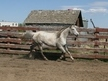 Classic Spirit- Beautiful Grey Mare going undersaddle - English and Western