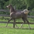 Gorgeous, Fancy-moving Egyptian colt