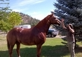 16hh Chestnut Canadian Warmblood Mare