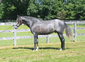 Tall 2011 PRE Stallion with  WOW Movement!