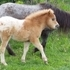 2014 Miniature Horse Foals Appaloosa Breeding