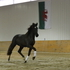 Gorgeous Spanish-Norman (Percheron x Lusitano) 2 yr Stallion
