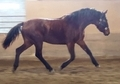 D'AUBREY CRS - 3 yr old Warmblood