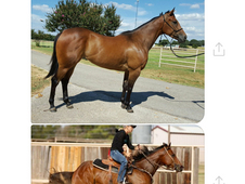 Registered Buckskin Barrel Mare