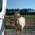 PALOMINO/WHITE REG TWH/SPOTTED 5 YEAR OLD GELDING