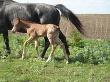 APHA Sorrel roan overo filly
