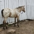 Gorgeous Buckskin Filly