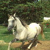Pure Bred Shagya-Arabian Stallion