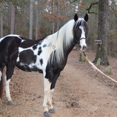 At Stud Apha Homozygous Tobiano Black & White Stallion