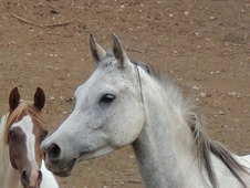 Pure Polish Grey Filly Classic Arabian head..