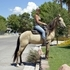 Super gentle, smooth gaited, neck reins, beginner trail horse!