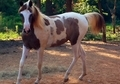 Colorful Typey Pinto Arabian filly