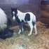 2013 B/W Miniature Filly with Blue Eyes