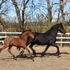 2014**Knabstrupper/Friesian filly**Bay Roan**