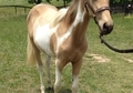 Golden Buckskin Spotted Filly