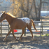 2011 Appaloosa Warmblood sporthorse Filly!  Sweet, easy going disposition!