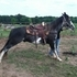 Flashy SSH Gelding - Video Link