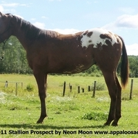 Horses Appaloosa Stallion Prospects or Geldings appaloosacentre.com