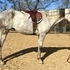 BIG, FLASHY GRAY MARE - PROVEN PEDIGREE