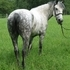 8 yr old dapple gray draft pony - husband says to make offer
