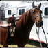 Registered 3 Yrold Foxtrotter Gelding for Trail/Show *Gentle*