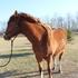 Registered AQHA Gelding. Doc Bar/Two eyed Jack geneology